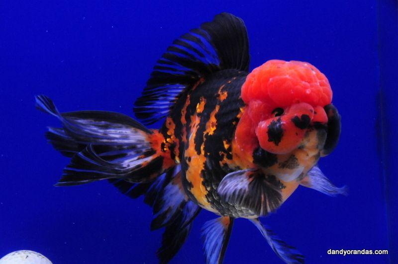 Tiger Oranda Dandyorandas Com Goldfish Oranda Goldfish Fish Pet
