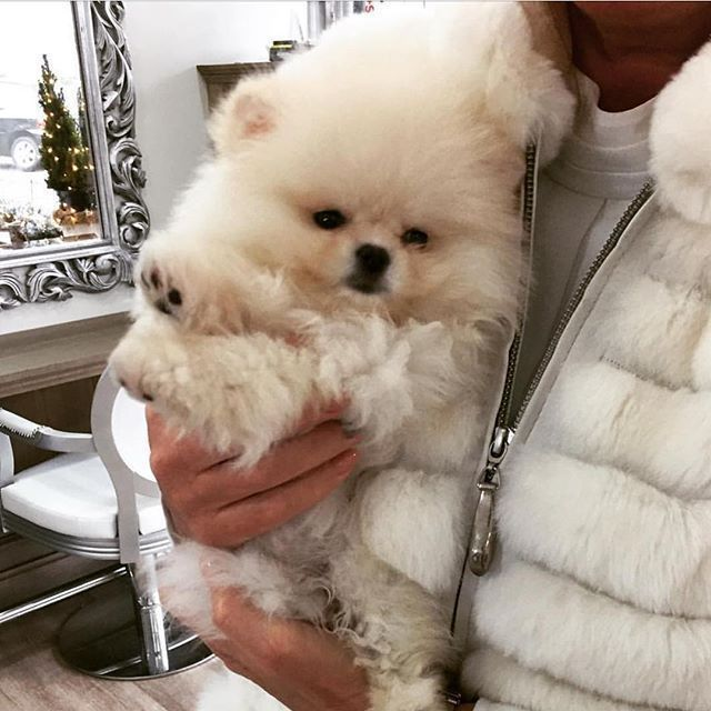 Pomeranian Puppies For Sale Get Pics And Price On Pomeranian