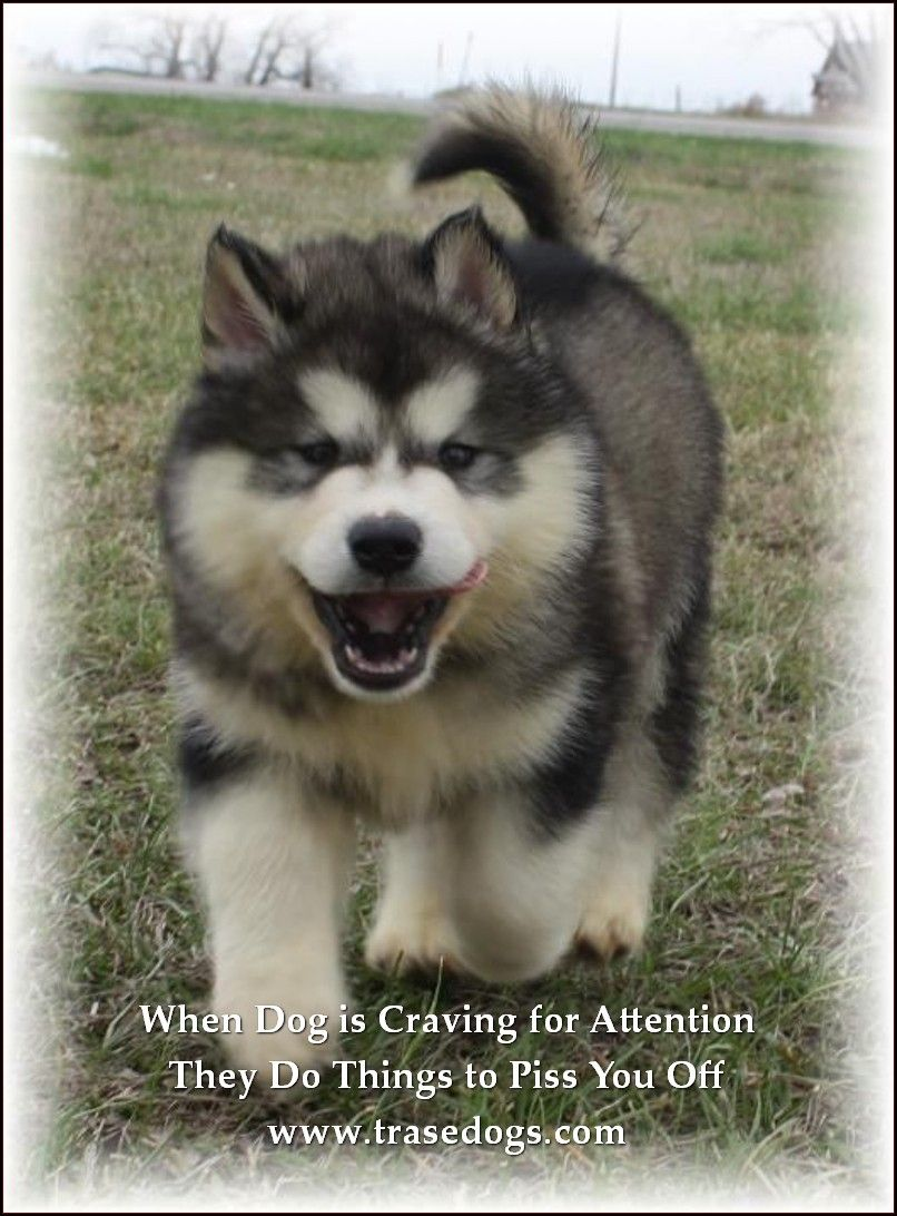 Alaskan Malamute Puppy For Sale Willow Creek Giant Alaskan