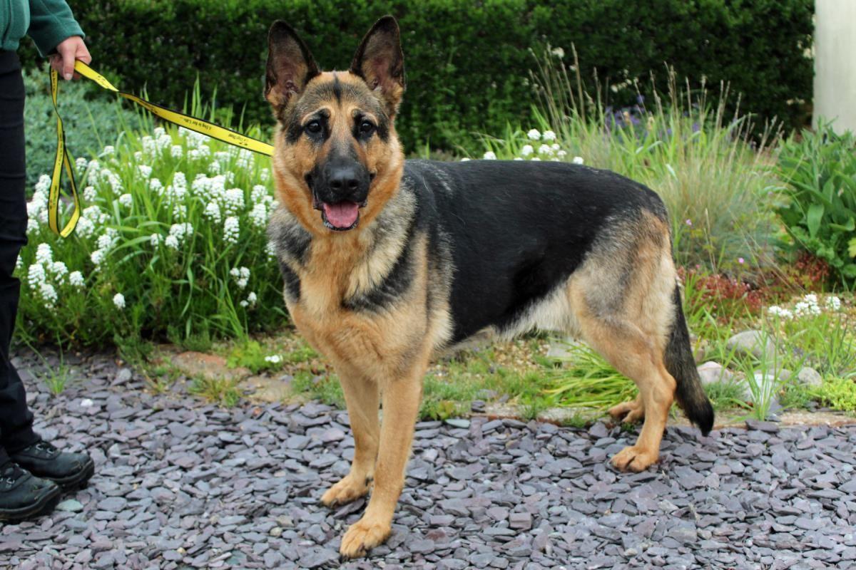 Adopt A Dog Rosie German Shepherd Dog Gsd Alsatian Dogs Trust Dog Adoption Dogs Dogs Trust