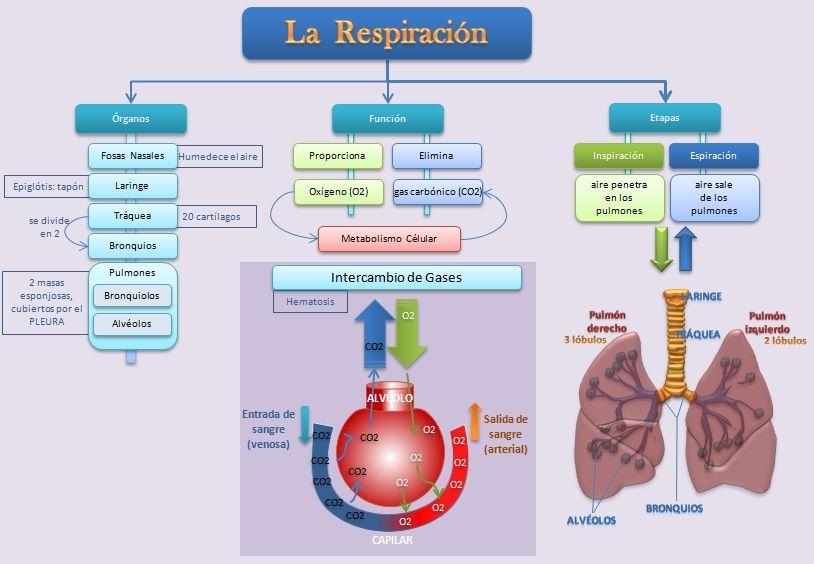 Esquemas Diagramas Graficos Y Mapas Conceptuales La Respiracion Imagenes Del Aparato Respiratorio Auxiliar De Enfermeria Mapa Conceptual