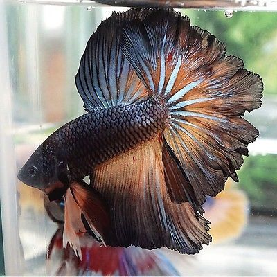 Live Betta Fish Male Copper Mustard Gas Perfect Rosetail Halfmoon Betta Hm Fish Betta Fish Live Aquarium Fish