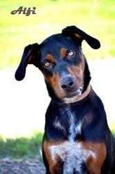 Adopt Alfi On Dog Sounds Doberman Pinscher Dog Doberman Pinscher
