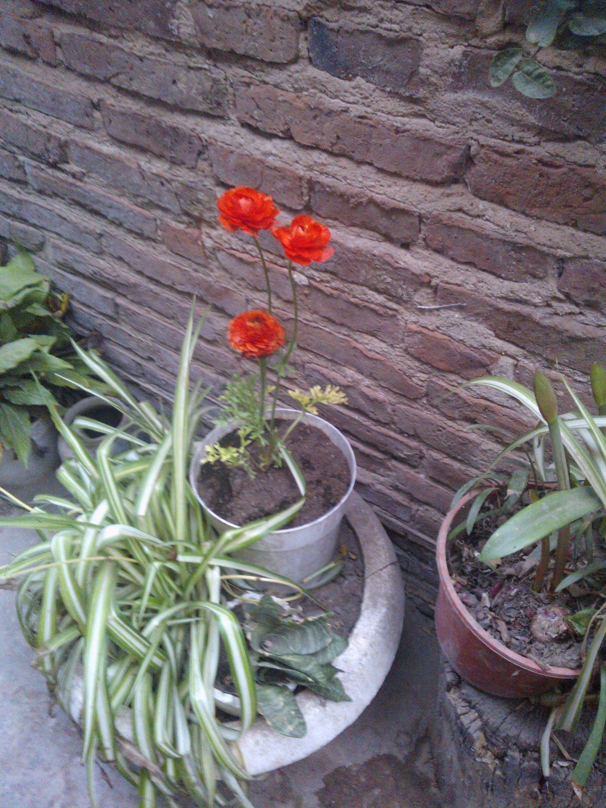 Marimonia Roja