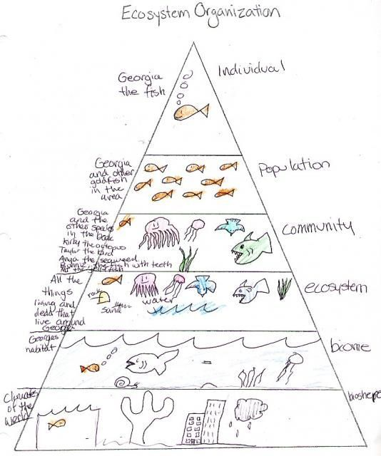 ecosystem pyramid student work my science box science for elementary students pinterest. Black Bedroom Furniture Sets. Home Design Ideas