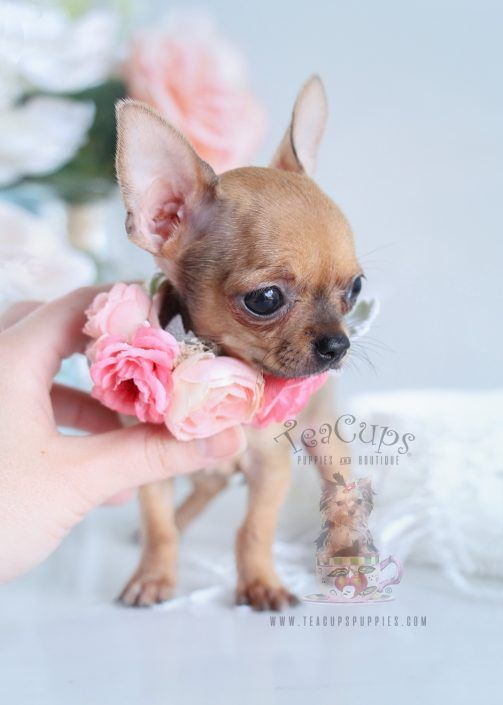 Tiny Chihuahua Puppy For Sale By Teacupspuppies Com Teacup Chihuahua Puppies Baby Chihuahua Chihuahua Puppies