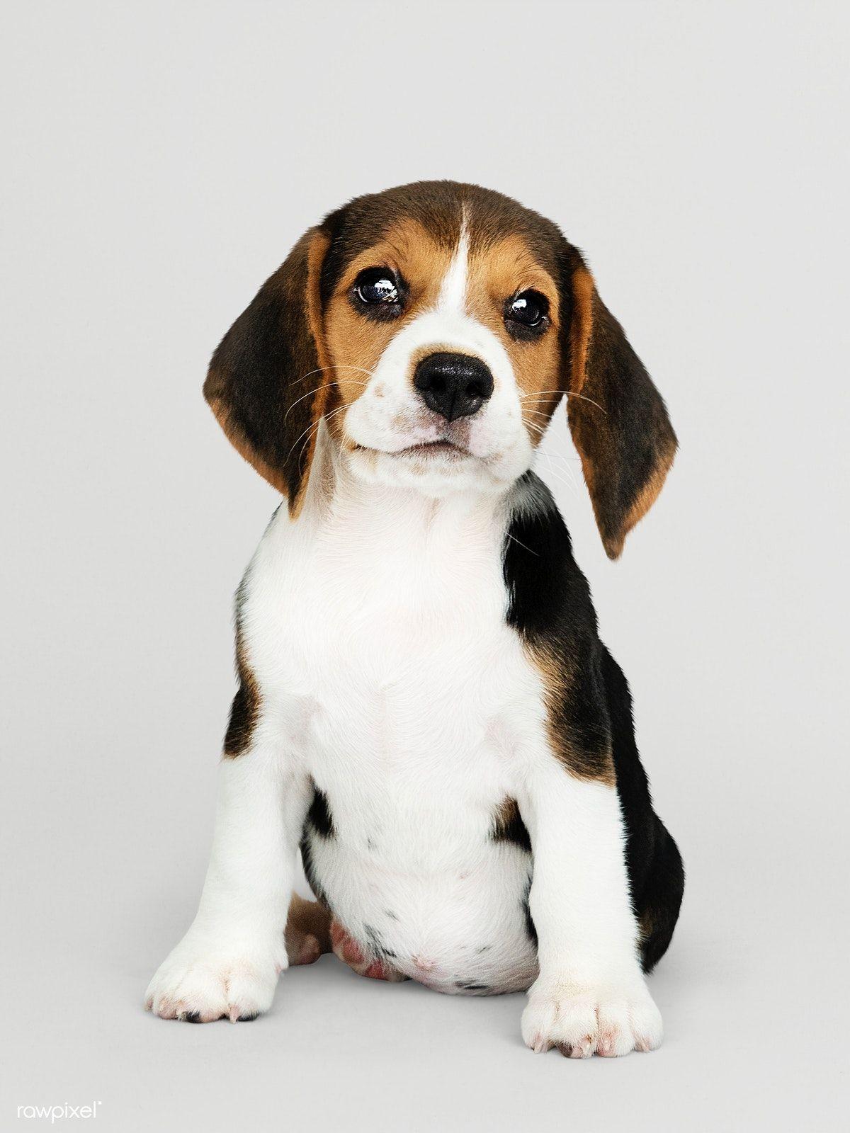 Download Premium Image Of Adorable Beagle Puppy Solo Portrait