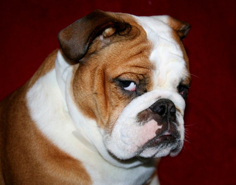 16 Reasons English Bulldogs Are The Worst Indoor Dog Breeds Of All