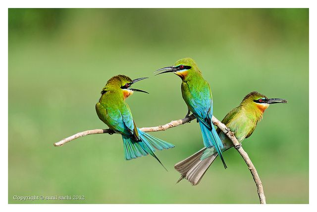 Blue-tailed Bee-eater - SE Asia