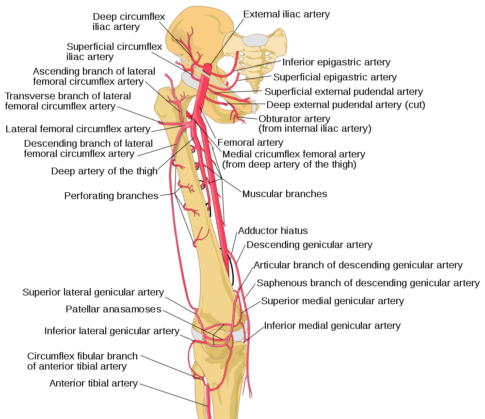 great illustration of the femoral artery and its subsequent, Cephalic Vein