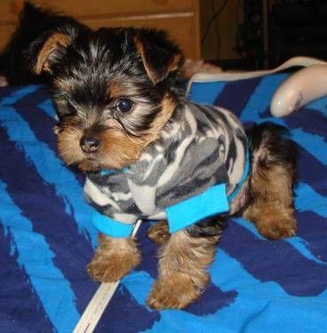 Adorable Tiny Yorkshire Chihuahua Chorkie Puppies 9 Wks York Dog Furry Friend Yorkie Chihuahua Mix