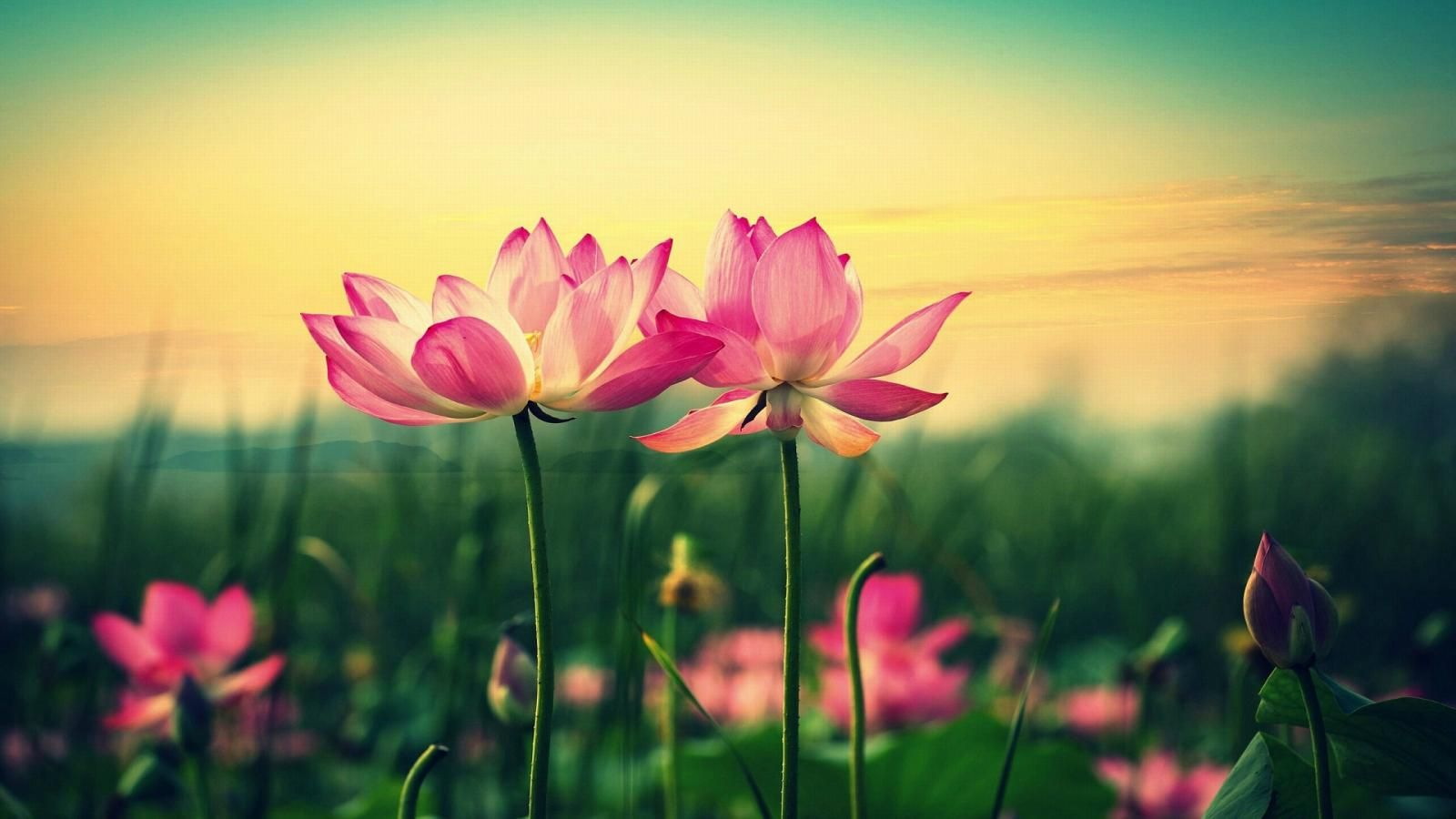 Lotus Flower Marvelous Background Wallpapers 1600x900 Resolution Wallpaper Wallpapers Lotus
