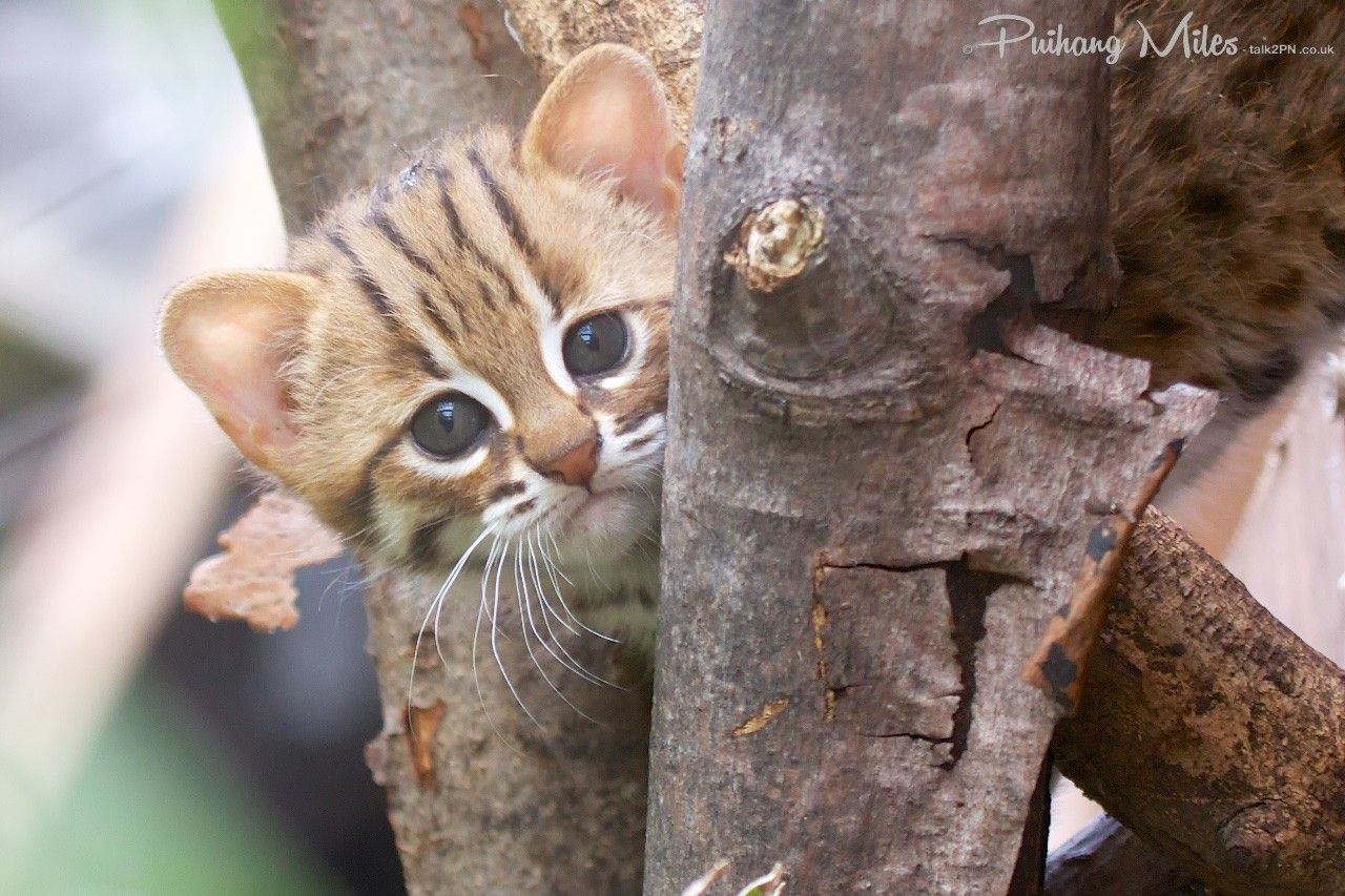 Rusty spotted cat kitten peering from around a tree very cute rare