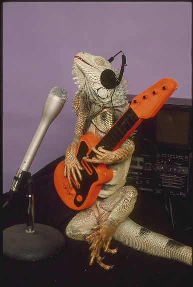 Iguana rocking out on guitar recording a song. Hilarious.