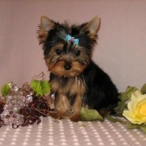 Pin by Hunter on TEACUP YORKIES (With images