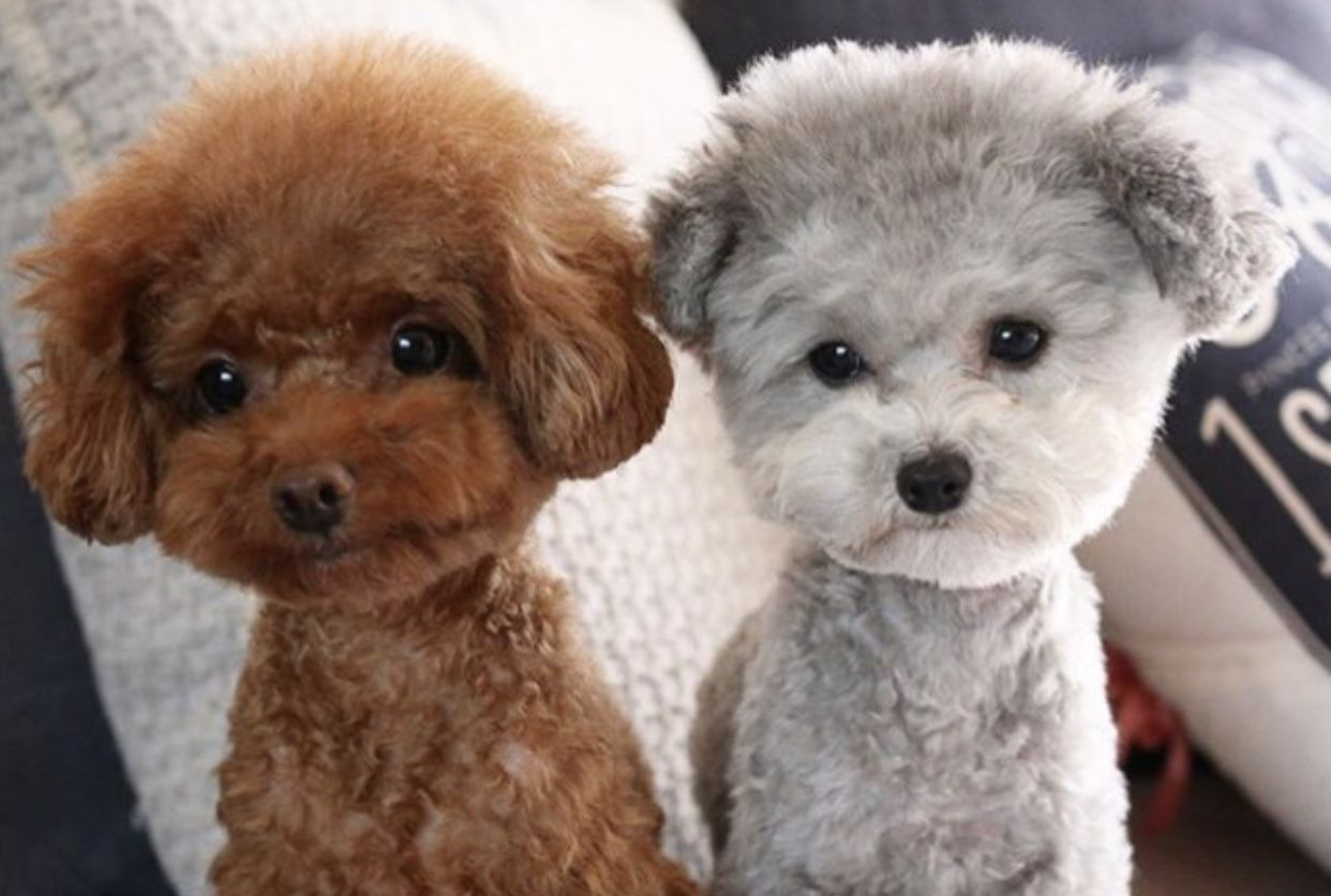 Poppy & Kohl Puppies, Dog grooming, Poodle