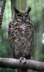 Image result for bird of central and s. america with very small wings and a heavy body