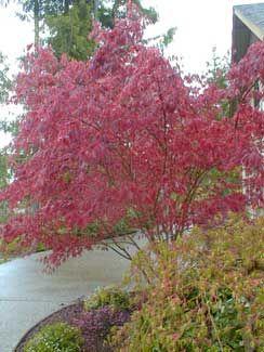 Acer Palmatum Atropurpureum Bloodgood Japanese Maples And Other