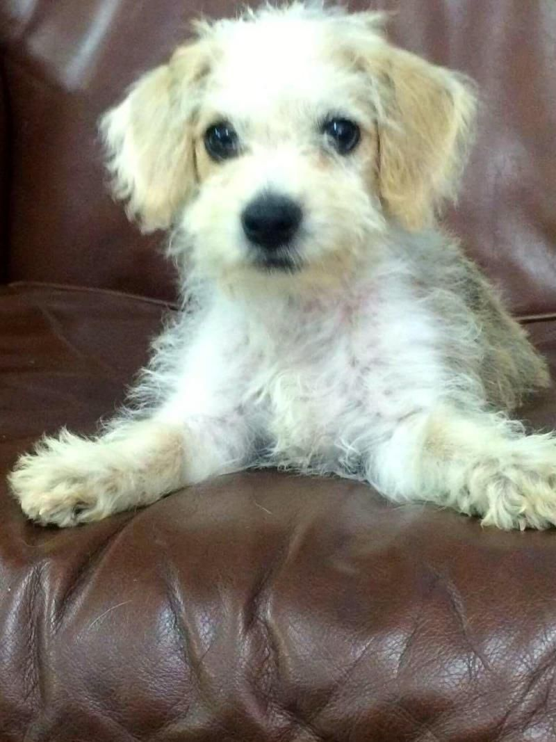 Adopt dora on terrier poodle mix poodle mix dogs pup
