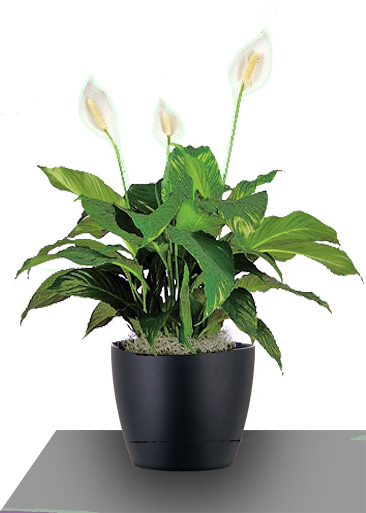 Also known as the peace lily the spathiphyllum is grown for its also known as the peace lily the spathiphyllum is grown for its remarkable white izmirmasajfo Gallery