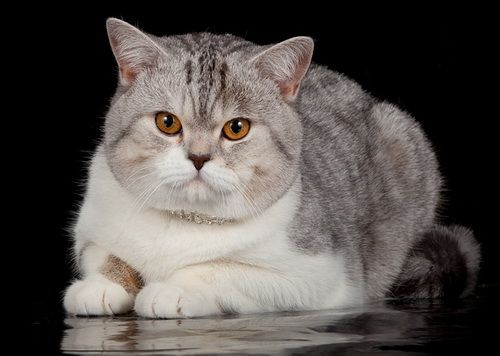 Scottish Straight Cat Breed Information Photos And History Cat Breeds Cats And Kittens Cats