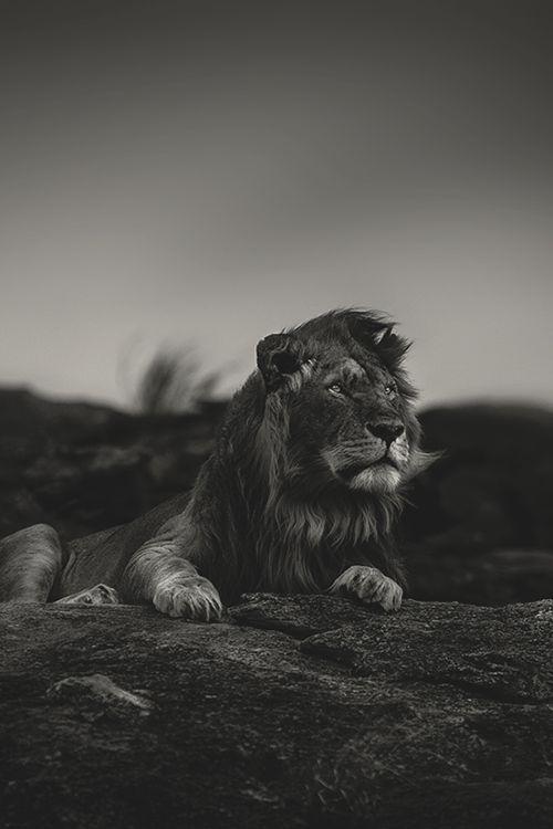 Epingle Par Vg Sur Mooi Lion Noir Animaux Noir Et Blanc Animales