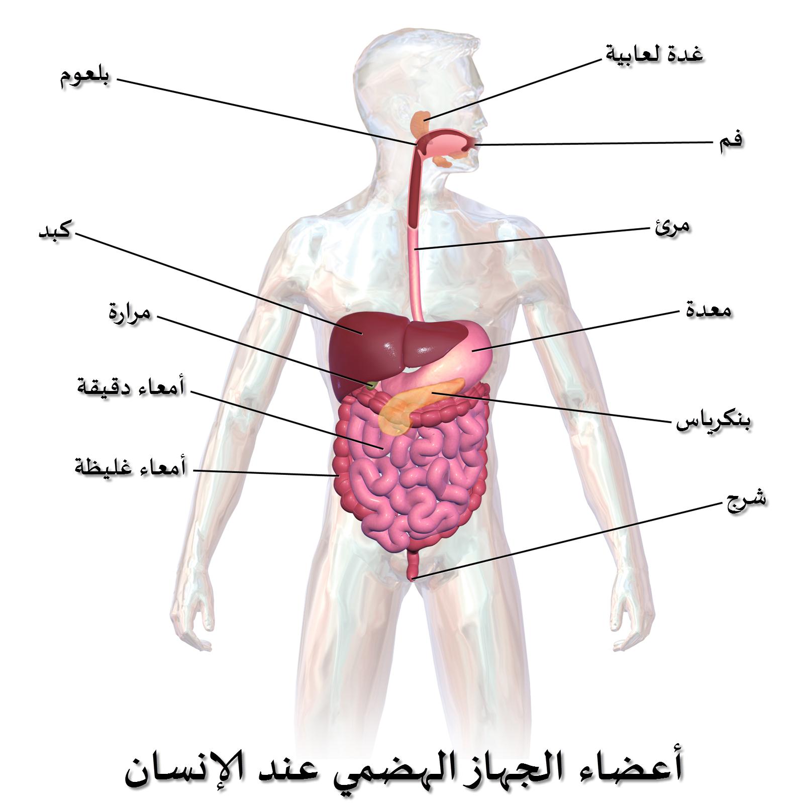 الجهاز الهضمي قناة طويلة ومتعرجة تبدأ بالفم وتنتهي بفتحة الشرج وهو الجهاز المسؤول عن هضم الأغذية حي Digestive System Excretory System Digestive System Diagram