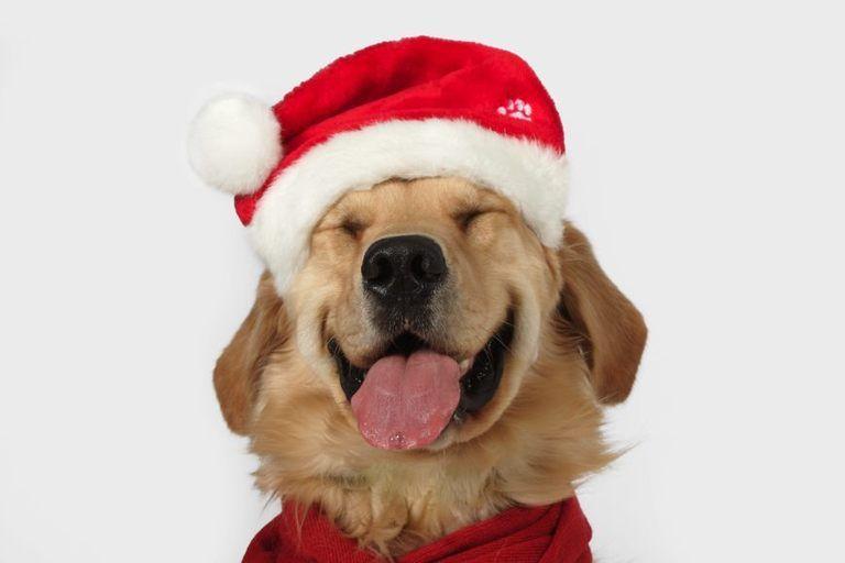 Animali Natale Immagini.Cani E Gatti Di Natale Cane Natale Golden Retriever Immagini Divertenti Di Natale