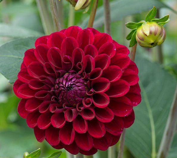 Daftar Nama Bunga Gambar Bunga Cantik Indah Unik Dan Langka Lengkap Dengan Penjelasannya Kumpulan Macam Macam Bunga Bunga Dahlia Bunga Bunga Bunga Indah