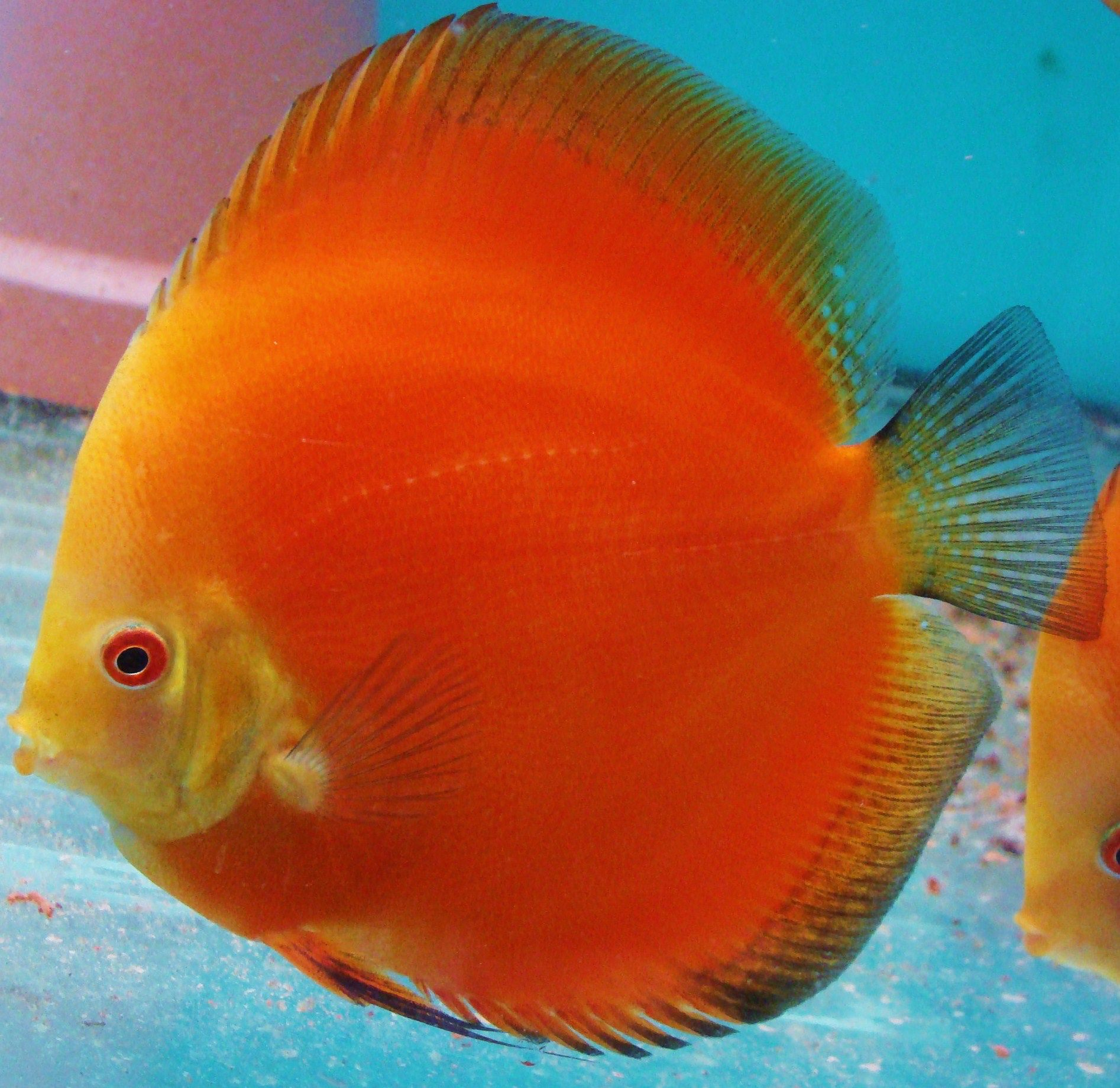Image from http://www.discus-siner.sk/en/images/chovane-formy/RED ...