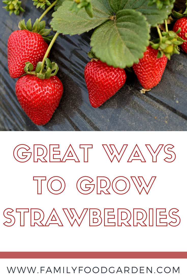 Best Ways To Grow Strawberries In Containers 2020 With Images Growing Strawberries Strawberries In Containers Growing Strawberries In Containers
