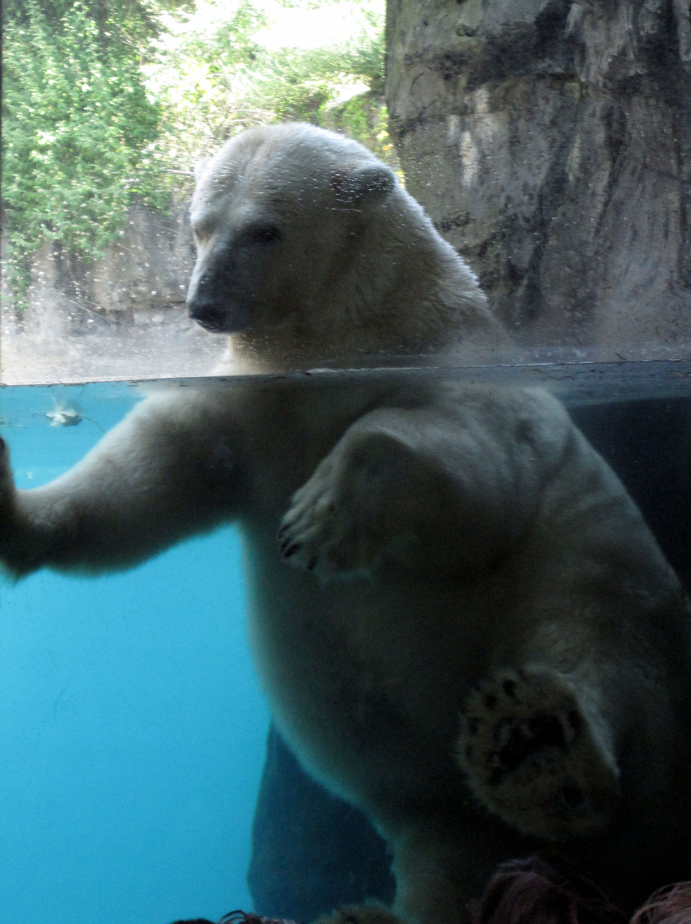 If I Cant See A Fashion Show I Want To Go To The Zoo Polar Bear S Aquatics Central Park Zoo New York New York Trip Planning Animals Beautiful Polar Bear