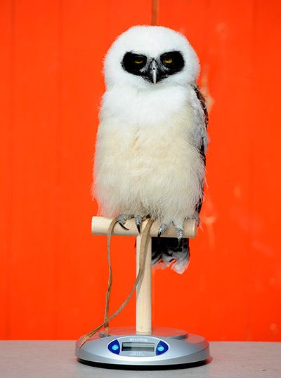 London Zoo audit: Elton, a spectacled owl, sits on a scale.