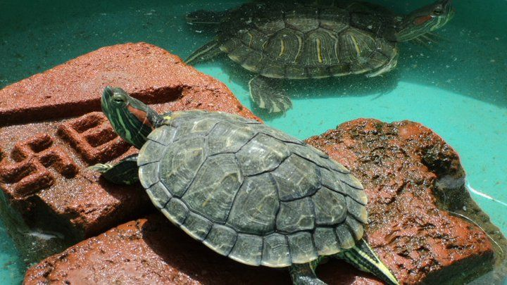 Care of red eared slider turtles pet turtle red eared