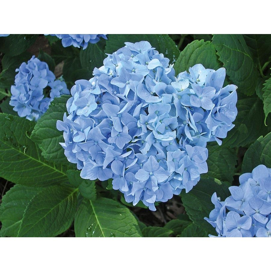 Shop 2 25 Gallon Blue Or Pink Mini Penny Hydrangea L20904 At Lowes Com Blue Hydrangea Hydrangea Flowering Shrubs