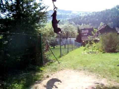 patterdale terrier high jump training (1,80m)