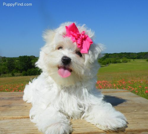 Maltese Pictures Tiere