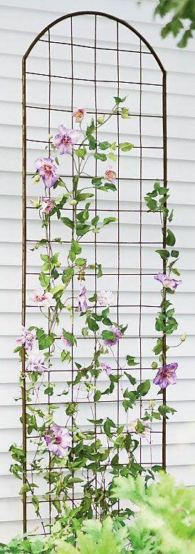 to Grow Clematis - Gardener's Supply Tips on growing clematis--did you know they can't climb wooden trellises?  They don't twine; they wrap, so any support thicker than 1/2 inch won't work.  Use twine or trellis netting to give the illusion of climbing on your wooden trellis.Tips on growing clematis--did you know they can't climb wooden trellises? ...