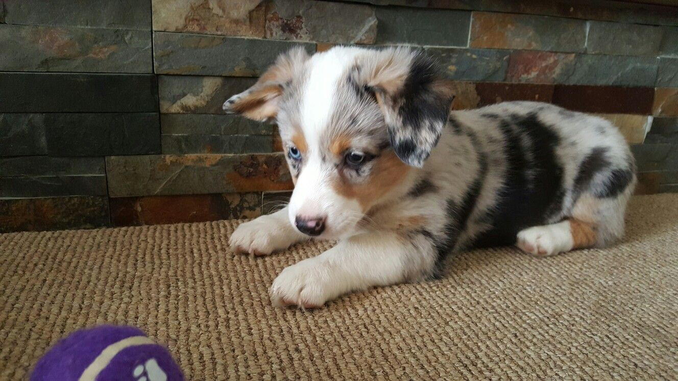 Aussie Corgi Mix Blue Merle Puppy Play Time Corgi Aussie Mix