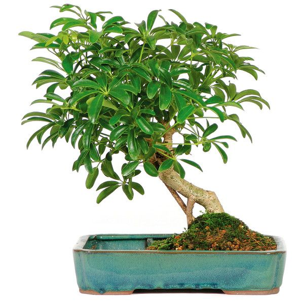 Hawaiian Umbrella Tree In Pot ($50) ❤ Liked On Polyvore Featuring Home,  Outdoors