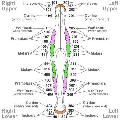 Horses Teeth Map Jpg 400 400 Vet Medicine Equine Veterinary