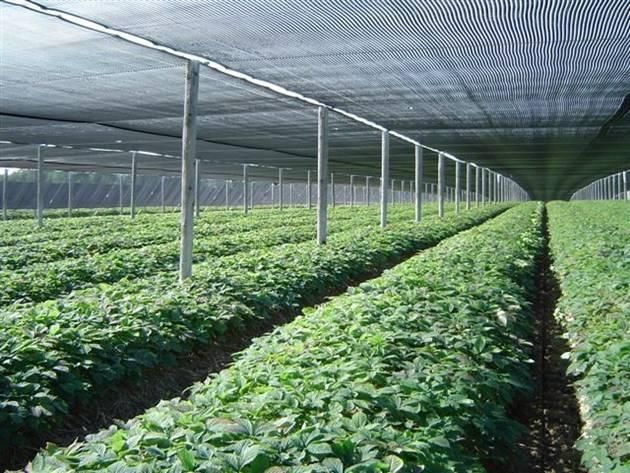 Ginseng Grows In Ontario Yes A Lot Of It Fact Shocking 90 Per Cent The Worlds Supply North American Grown Is Found Along Lake Eries