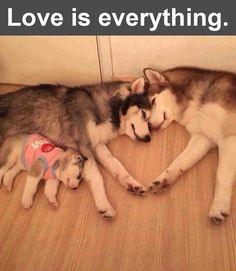 ♥️Love is everything...Husky family