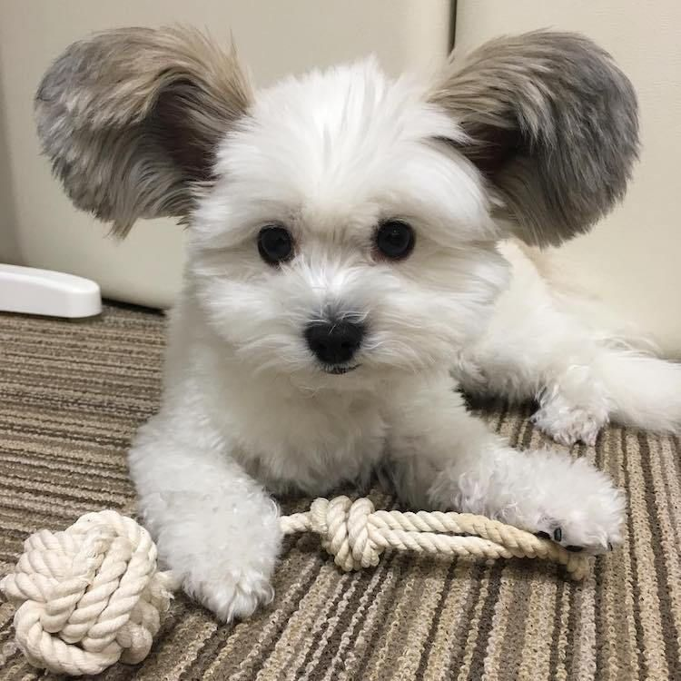 An Adorable White Dog With Giant Mickey Mouse Ears Cute Baby Animals Cute Animal Videos Cute Funny Animals