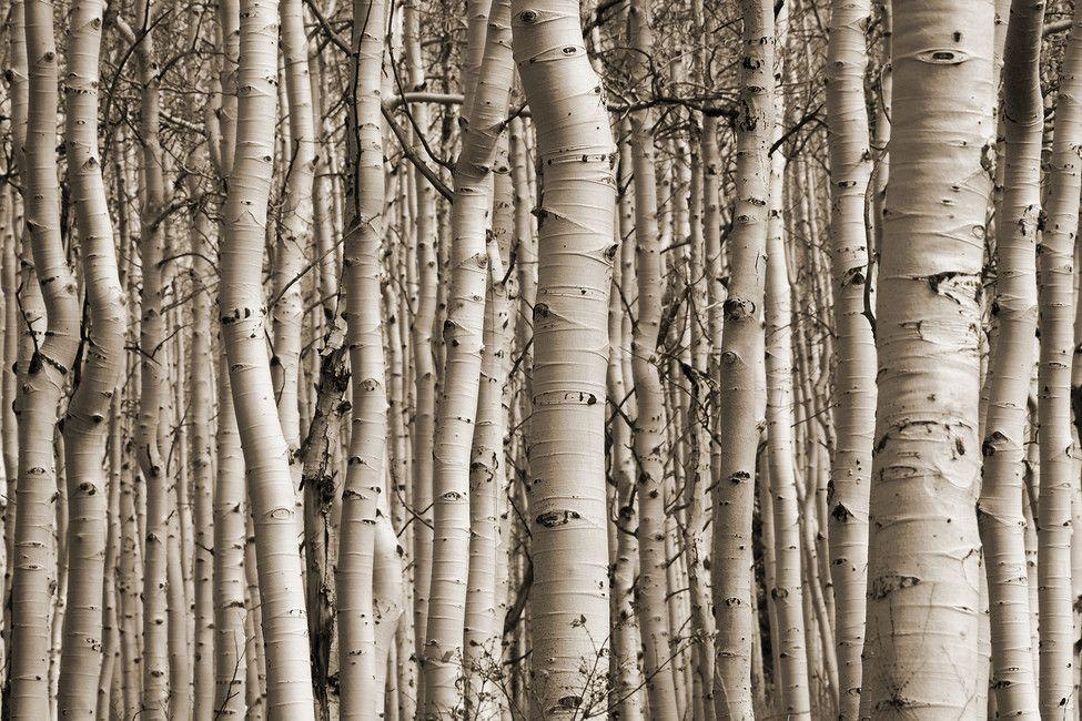 Aspen Forest Sepia Birch tree wallpaper, Forest wall
