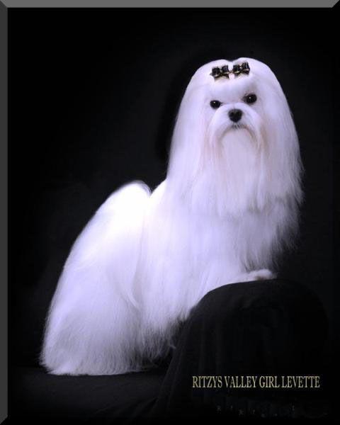 Akc Champion Maltese Maltese Maltese Dogs Dog Breeder