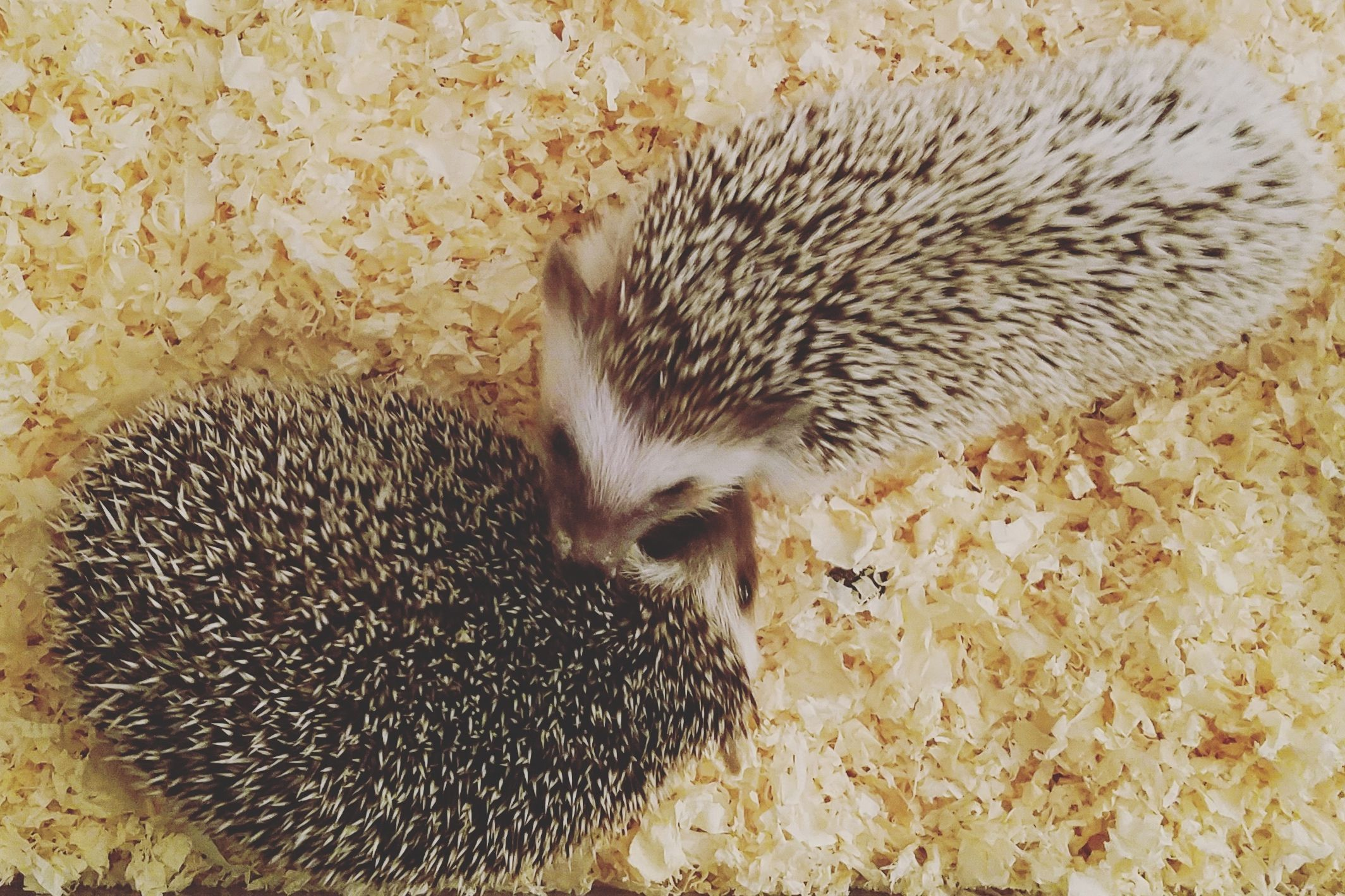 What Is The Best Bedding For A Hedgehog Hedgehog Bedding Hedgehog Pet Hedgehog Care