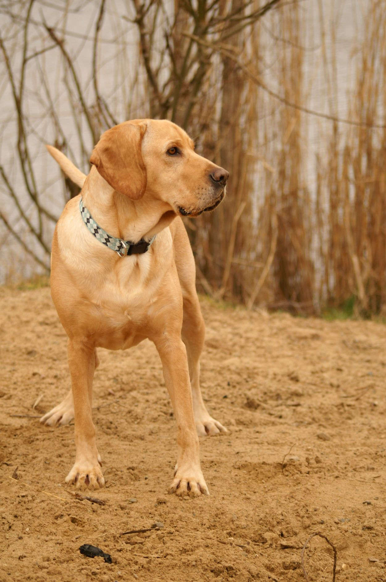 Dog Pets Animal One Animal Domestic Animals Golden