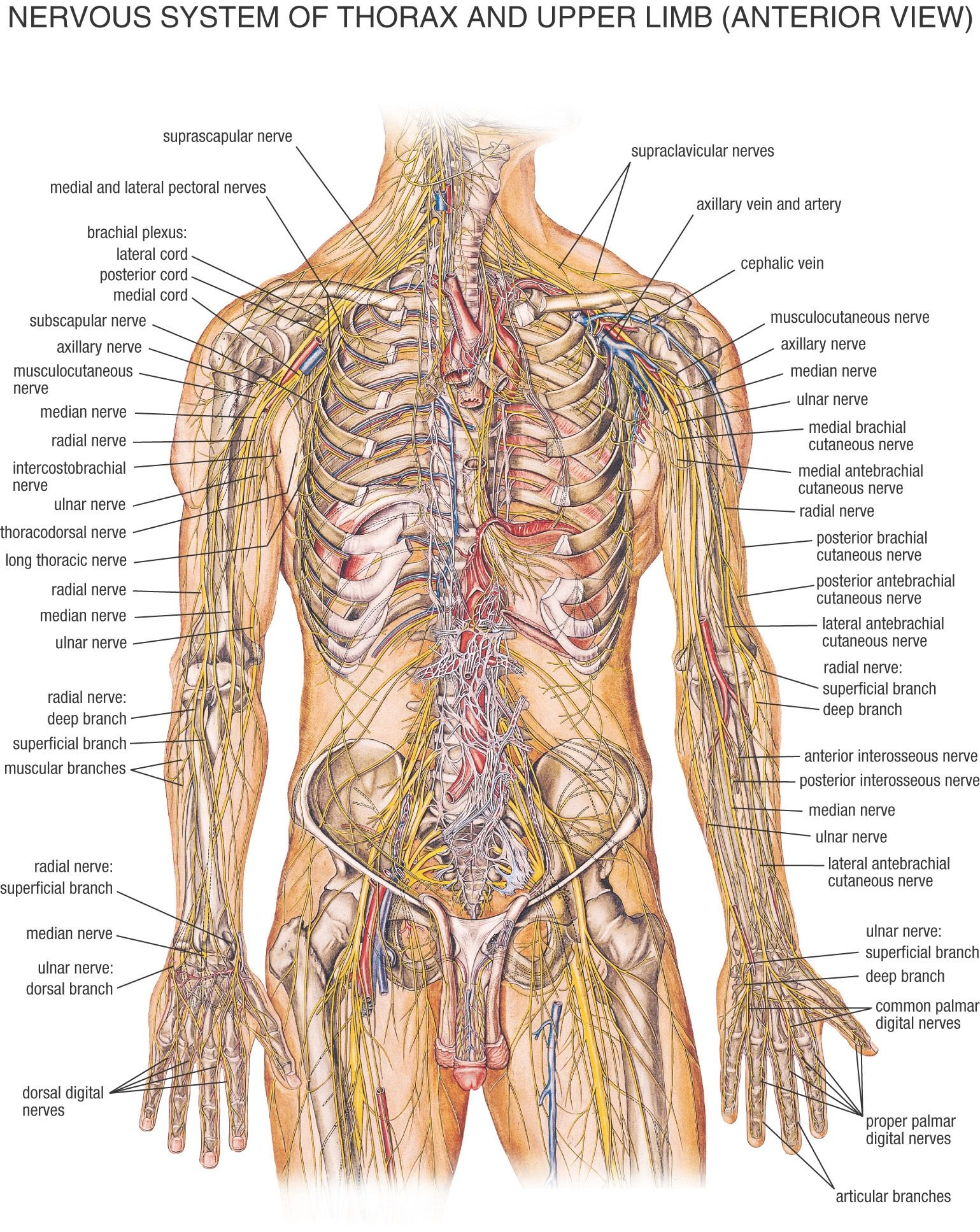 Nervous System  Anatomy Human body and Human body anatomy