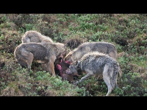 Pictures Of Wild Boar Attacks On Dogs